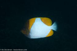 BD-140324-Apo-3619-Hemitaurichthys-polyepis-(Bleeker.-1857)-[Pyramid-butterflyfish].jpg